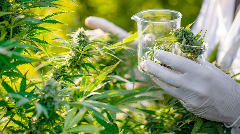 Recherche scientifique: premier congrès au Maroc sur l'utilisation des dérivés du cannabis